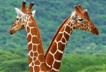 Giraffes & Zebras