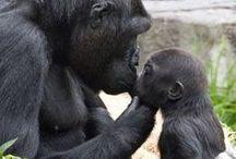 Gorillas, Chimps, Orangutans, Monkeys