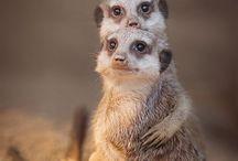 Meerkats & Prairie Dogs