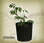 Elderberry Plants