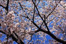 Setagaya's spring / 世田谷の春の風景です。