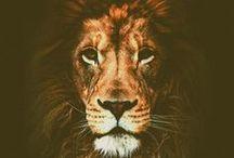 Lion / Lion