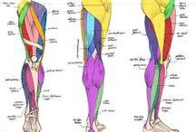 anatomy Legs / leg anatomy only