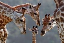 Giraffes / All things Giraffe