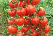 tomates poderosos / by Dgmila