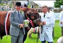 Cattle / The Lincolnshire Show attracts a great range of Cattle Exhibitors!