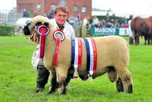 Sheep / The Lincolnshire Show attracts a large number of Sheep Exhibitors!