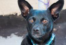 Josie's Den. / Josie, the unlikely, and unforgettable, chi-weiner rescue, mascot of #LyonsDenPowerYoga