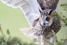 owl-baykuş