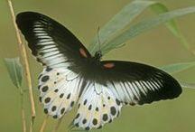 butterfly-kelebek