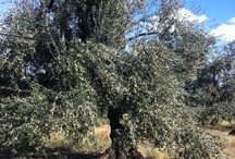 The fairy tale of extra virgin olive oil / The story of this incredible italian products, through some pictures