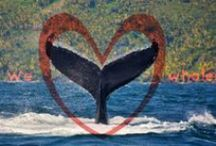Whale love / This board shows amazing pictures of humpback whales in Samaná