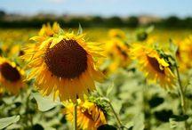 House of Sunflower