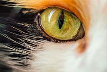 Animals - Calico