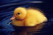Kachny ... :)  / Ducks ... :) / Kachničky :)