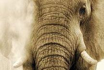 Elephants: plz save them!