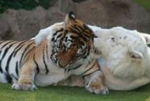 My Love of Tigers