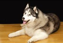 Siberian Husky / All you wanted to know about Siberian Huskies.