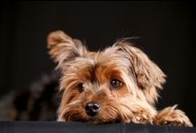 Yorkshire Terrier / Find everything you wanted to know about Yorkshire Terriers here.