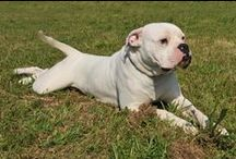 American Bulldog / Find here all you need to know about American Bulldogs