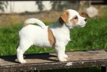 Jack Russell Terrier / Things you need to know about the Jack Russell Terrier.