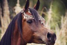 Arabian horse show  costume