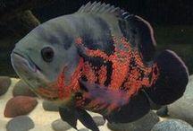 American Cichlid - Fish