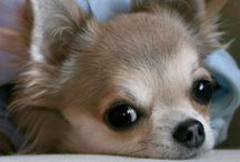 [ chihuahuas ] / BEST dogs✖️✖️✖️