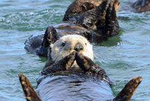ラッコsea otter