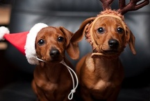 Doxies + some / Cute doggie pictures of all kinds / by Olivia Woeck-Carter