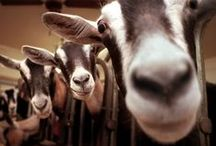 Celebrity Dairy Goats / We have may goats at the Inn at Celebrity Dairy and use their milk to make cheese on the property.