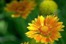 flora  gailardia