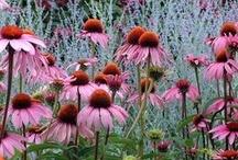 flora echinacea
