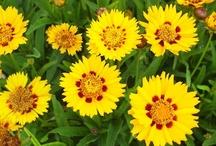 Flora  coreopsis