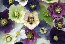 flora helleborus