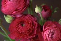 flora ranunculus