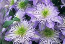 flora clematis
