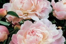 flora peony