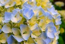 flora hydrangea