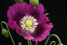 flora papaver