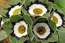 flora primula