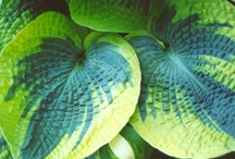 flora hosta