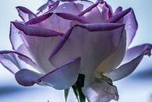 Roses / Roses