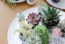 (Mini) Succulenten / Succulenten hebben weinig aandacht nodig, ze krijgen liever te weinig dan te veel water. Ze zijn dus makkelijk te verzorgen en je kunt er ook nog eens hele leuke dingen mee maken! Een ideale plant voor binnen & buiten! Hier staan allerlei leuke ideeën met Sempervivum en andere succulenten.