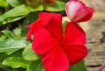 Bloemen met een betekenis / Met bloemen kun je heel veel zeggen. Zo kun je bijvoorbeeld met een rode roos de liefde verklaren. Maar ook als je iemand wilt bedanken of je bewondering wilt laten zien, kun je dit met een speciale bloem doen.