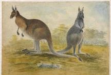 Kangaroos in History / Historic images of kangaroos, mostly from the collections of the State Library of New South Wales.