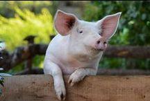 Black Forest Ham / Schwarzwälder Schinken / Delicate ham is made from happy, home-reared pigs on our specially selected Black Forest farms. Auf ausgesuchten Schwarzwald-Höfen wird aus glücklichem, heimischem Borstenvieh ein delikater Schinken gemacht.