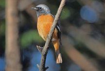Daurian Redstart / ジョウビダキ