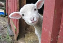 Agnellini dolci piccoli agnellini e caprette / Dov'è la mia mamma?