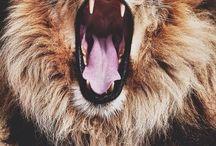 Il ruggito del leone.